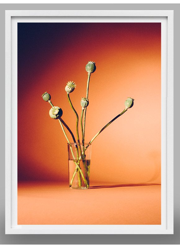 photograph of poppies
